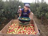Англия Ферма за Ябълки